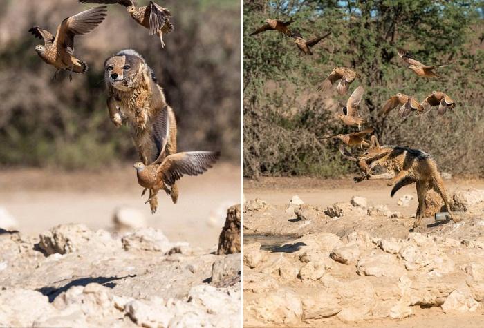 Vicious Jackals Hunt Birds In The Wild (10 pics)