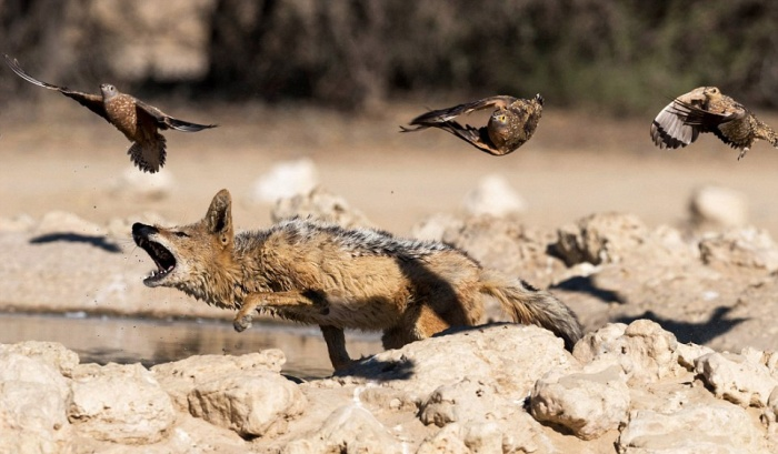 Vicious Jackals Hunt Birds In The Wild (10 pics)