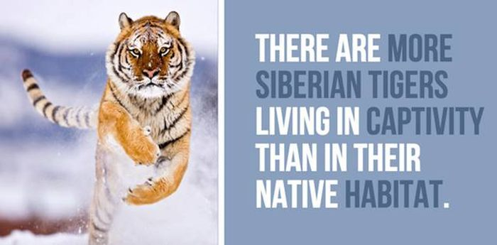 Cool Facts You Didn't Know About Lions And Tigers (24 pics)