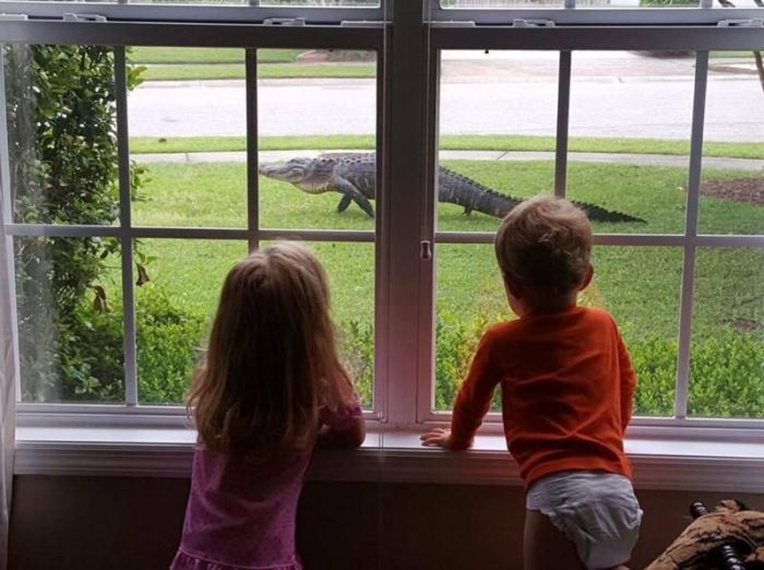 Alligators Are Everywhere In Florida (16 pics)
