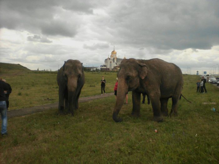 Russian Residents Greeted By A Pack Of Elephants (7 pics)