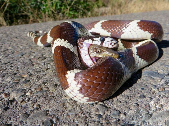 King Snake Takes On An Alligator Lizard (2 pics)