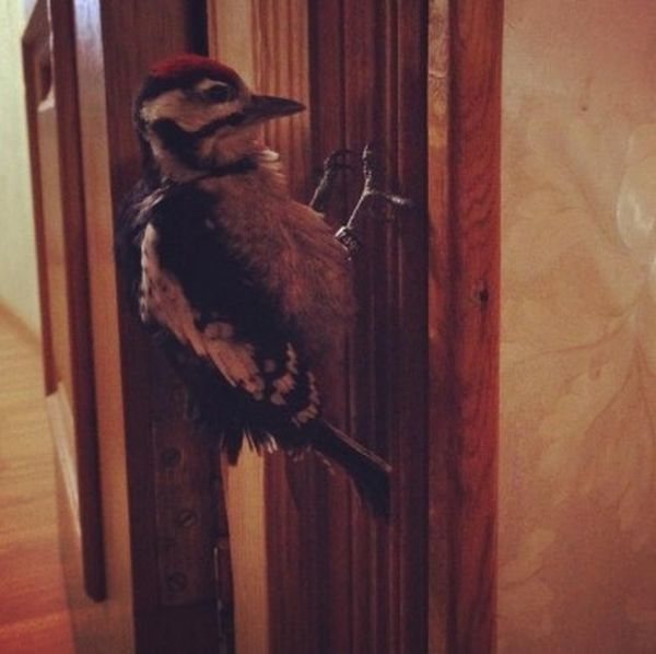 Woodpecker Gets Nursed Back To Health (12 pics)