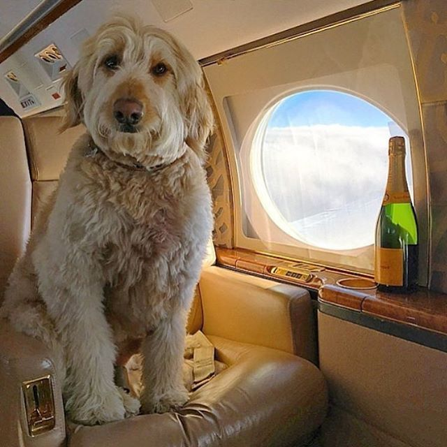 Rich Dogs With Lives Humans Could Only Dream About (15 pics)