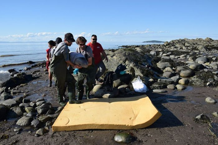 Newborn Baby Whale Saved By Kids In Canada (4 pics)