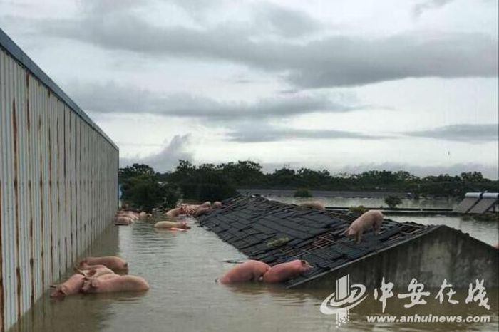 Over 3,000 Pigs Rescued From A Flood In China (6 pics)