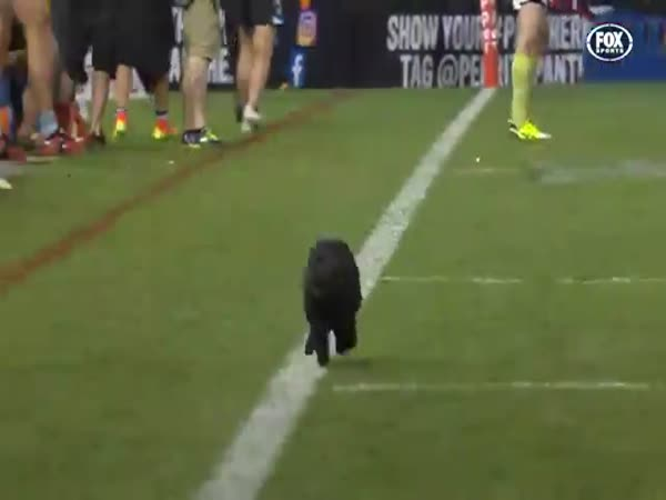 Black Cat Runs Onto Field During Sharks Vs Panthers NRL Clash