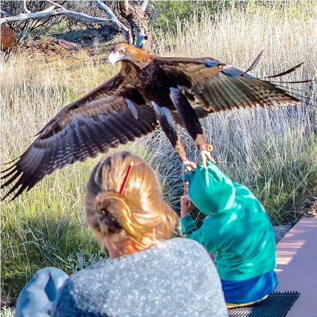 Eagle Attacks Young Boy In Australia (2 pics)
