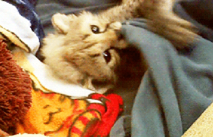 Adorable Little Predators Trying To Be Ferocious (17 gifs)