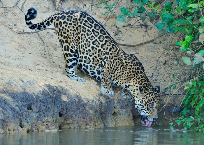 Jaguar Pulls A Crocodile Out A River Using Its Teeth (6 pics)