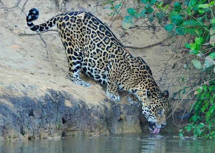 Jaguar Pulls A Crocodile Out A River Using Its Teeth (6 pics)