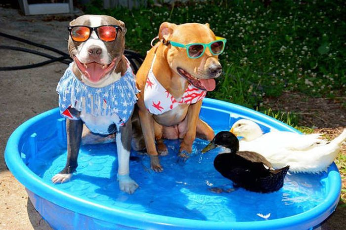Life Is Fun When You Live With Four Dogs, A Cat And Two Ducklings (17 pics)