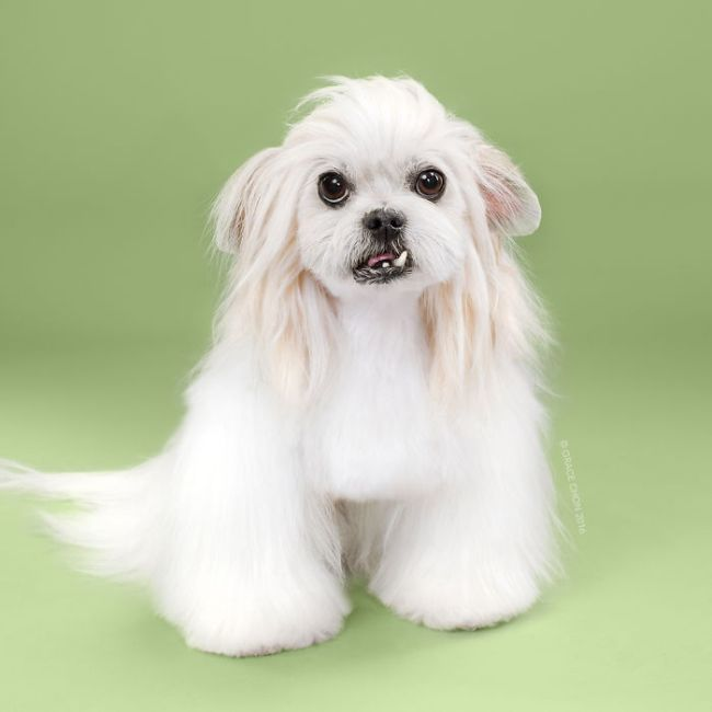 Before And After Photos Of Dogs Getting Haircuts (16 pics)
