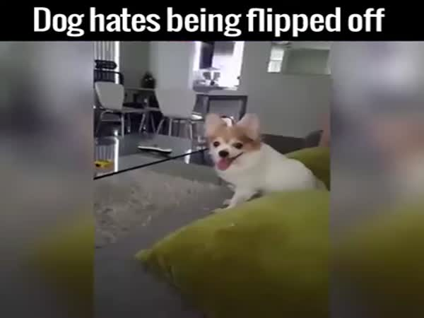 Dog Hates Being Flipped Off
