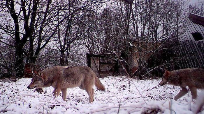 Wildlife In Chernobyl (17 pics)
