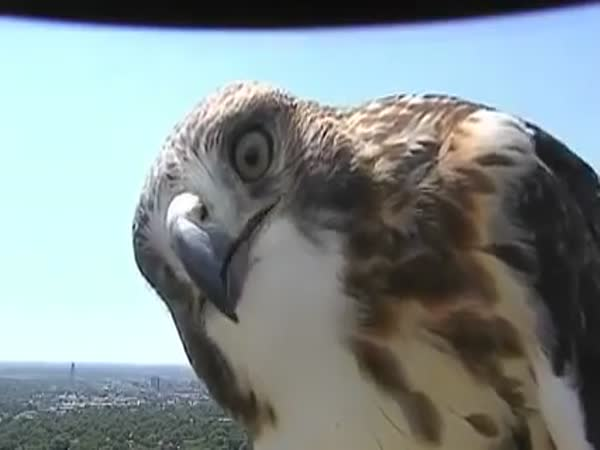 Curious Hawk Checks Out Weather Cam In Lincoln NE