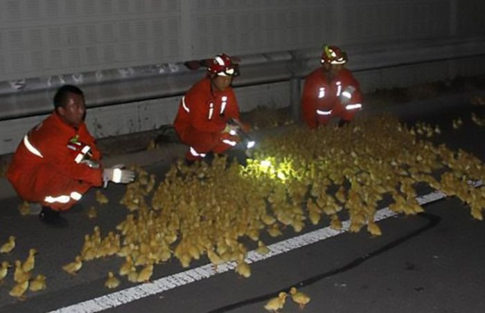 Ten Thousand Ducklings Involved In Big Road Accident In China (4 pics)
