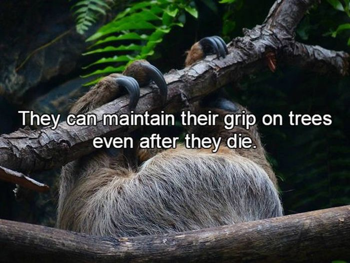 Fun Facts About The Creatures We Call Sloths (15 pics)