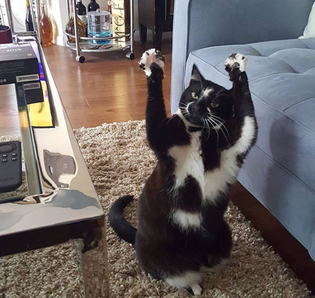 Everyone's Trying To Figure Out Why This Cat Keeps Putting Its Paws In The Air (12 pics)