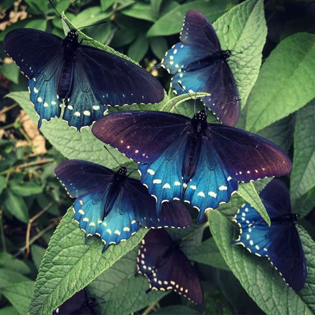 How One Man Repopulated A Rare Butterfly Species In His Backyard (10 pics)