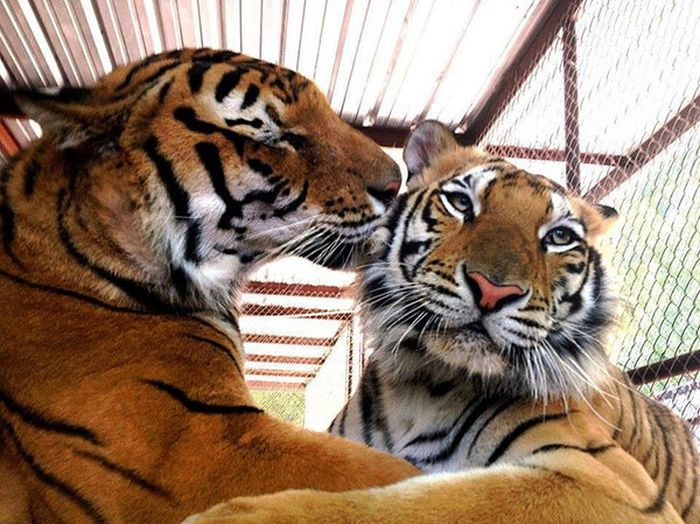 This Tiger Is Like A Whole New Animal Since Leaving The Circus (8 pics)