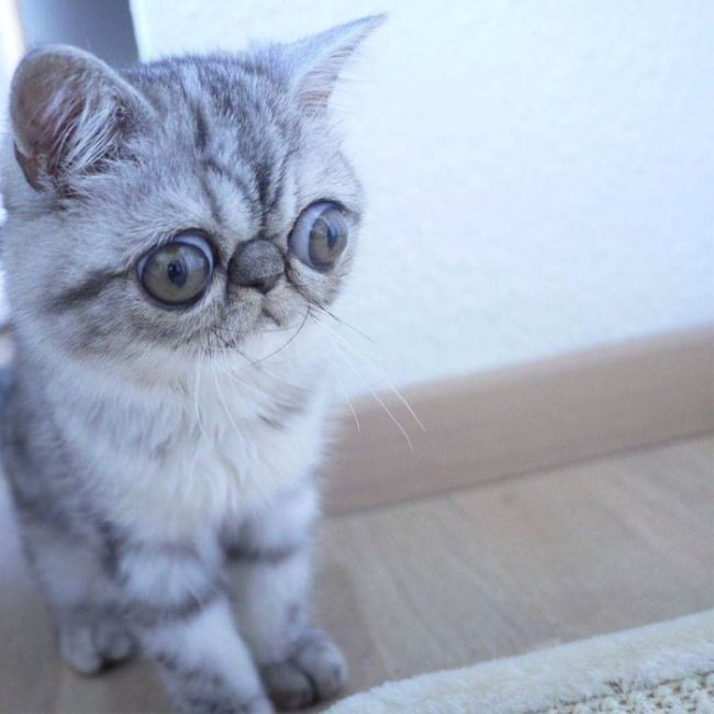 Meet Herman, The Cat Who Can't Believe His Eyes (5 pics)