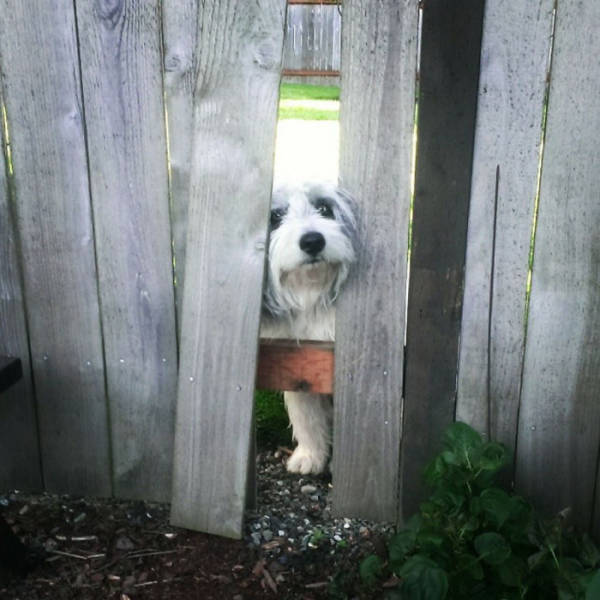 Funny Pictures Of Dogs Sticking Their Heads Through Fences (45 pics)