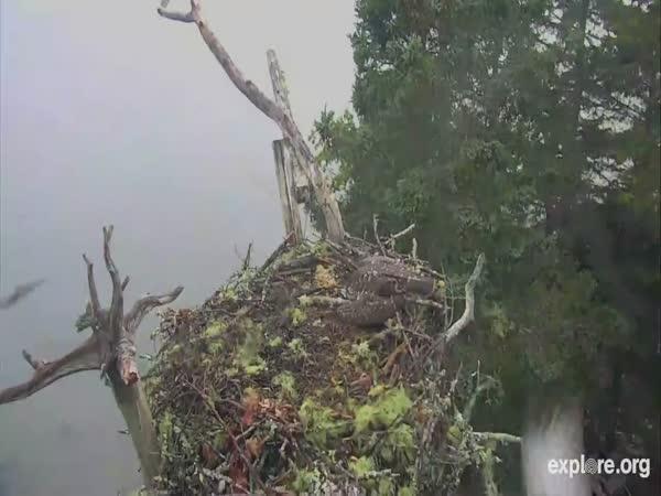 Eagle Steals Chicks