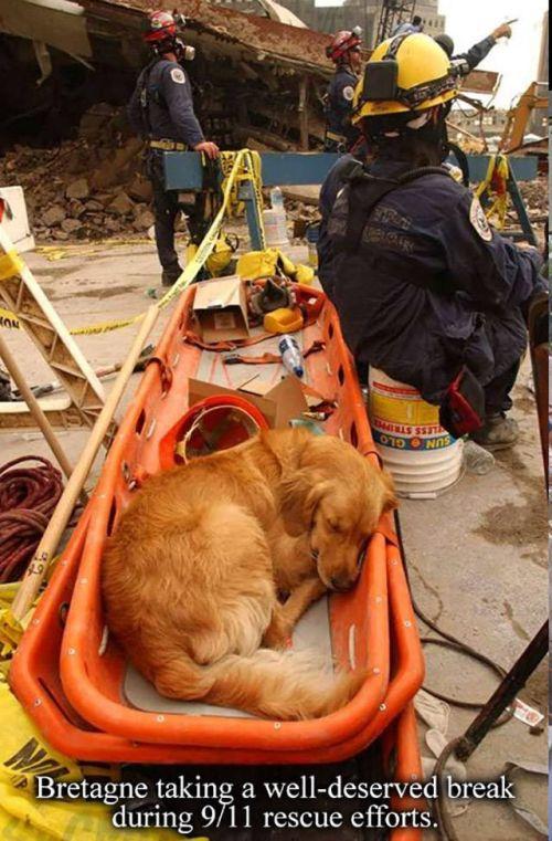 A Tribute To Bretagne, The Last 9/11 Rescue Dog (8 pics)