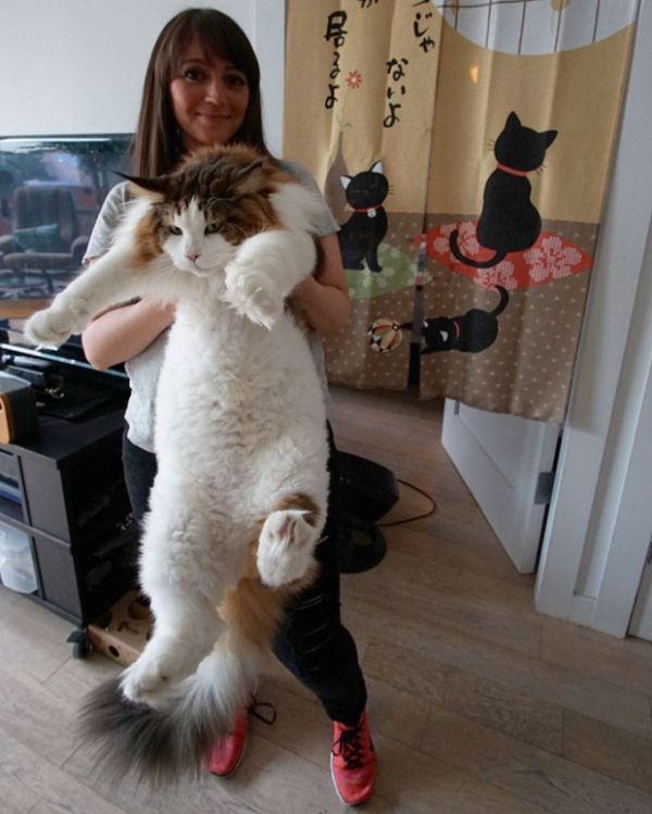Massive 28 Pound Cat Is New York City's Largest (9 pics)