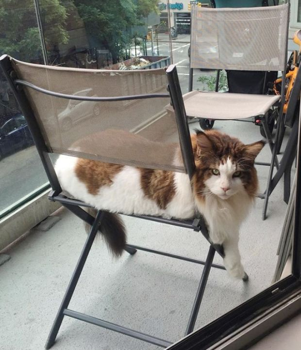 Massive 28 Pound Cat Is New York City's Largest (9 pics)