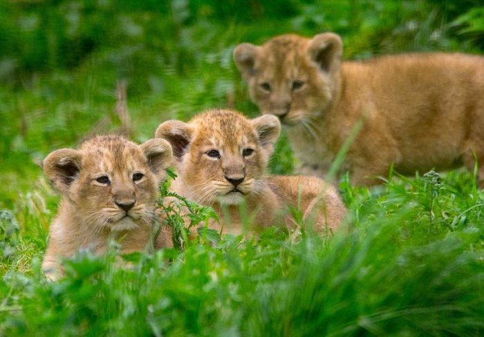 Lion Gives Birth To Adorable Triplets (4 pics)