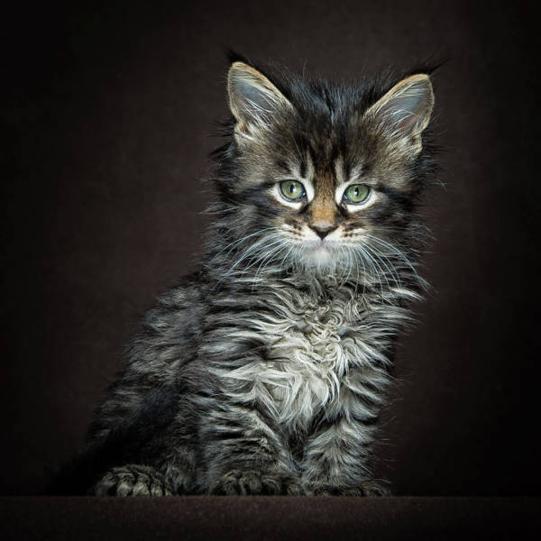 majestic photos of amazing maine coon cats 30 pics. Black Bedroom Furniture Sets. Home Design Ideas