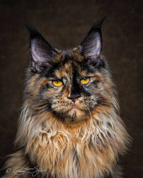 Majestic Photos Of Amazing Maine Coon Cats (30 pics)