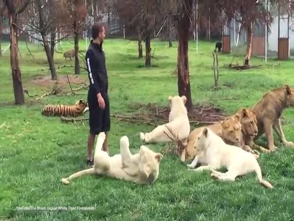 Zookeeper Is Saved From Potential Leopard Attack By A Tiger