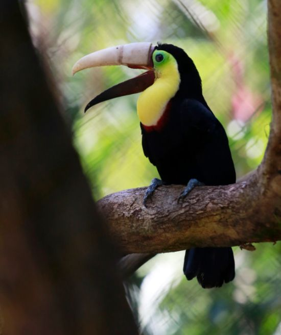 Toucan Gets A Second Chance Thanks To A 3D Printed Beak (5 pics)