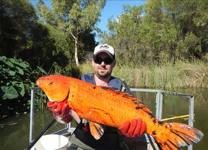 What Happens To Goldfish If You Dump Them In A River (3 pics)
