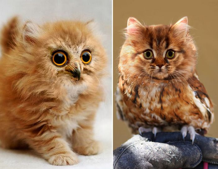 Cat Owls Are The Perfect Animal Crossover (16 pics)