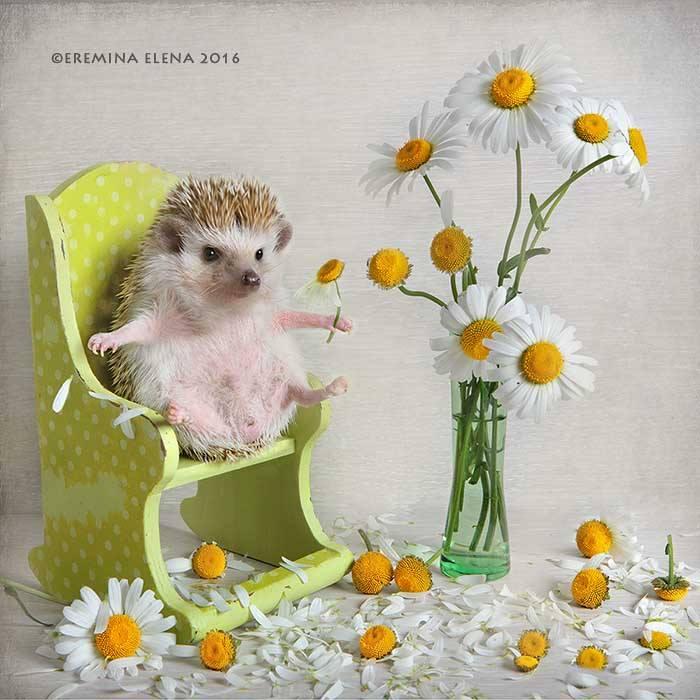 Photographer Exposes The Secret World of Hedgehogs (11 pics)