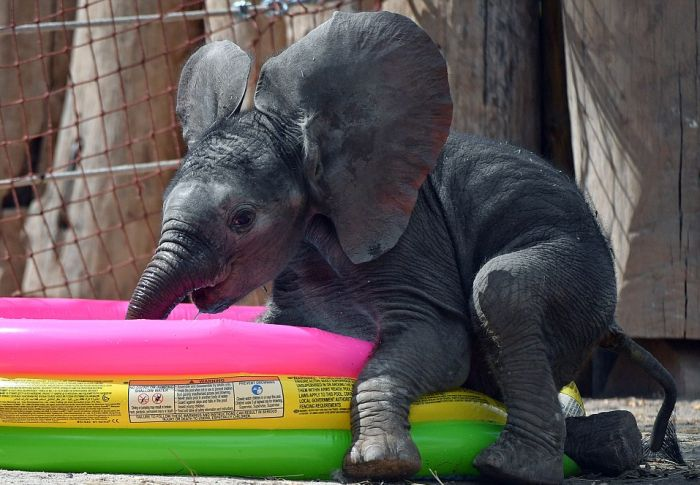 Baby Elephant Finds An Excellent Way To Beat The Summer Heat (4 pics)