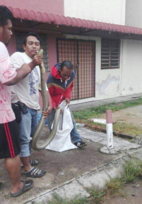 King Cobra Invades An Apartment In Malaysia (4 pics)