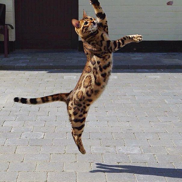 This Bengal Cat Named Thor Has Perfect Fur (10 pics)