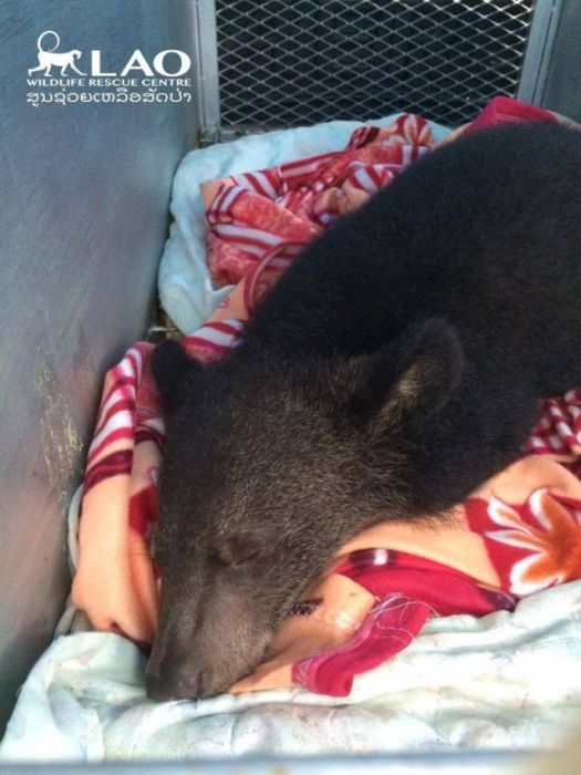 Baby Bear Saved From Hunters Loves Her New Home (15 pics)