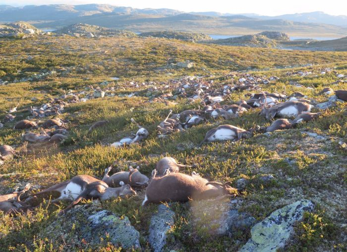 More Than 320 Reindeer Killed By Lightning Strike In Norway (5 pics)