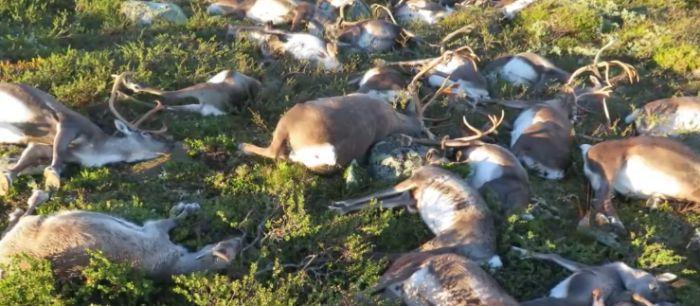 More Than 320 Reindeer Killed By Lightning Strike In Norway (5 pics)