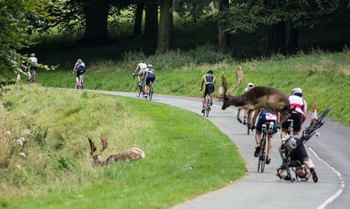 Dear Collides With Cyclist During A Triathalon (3 pics)