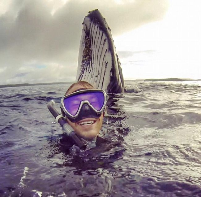 Humpback Whale Photobombs Swimmers In Tonga (2 pics)