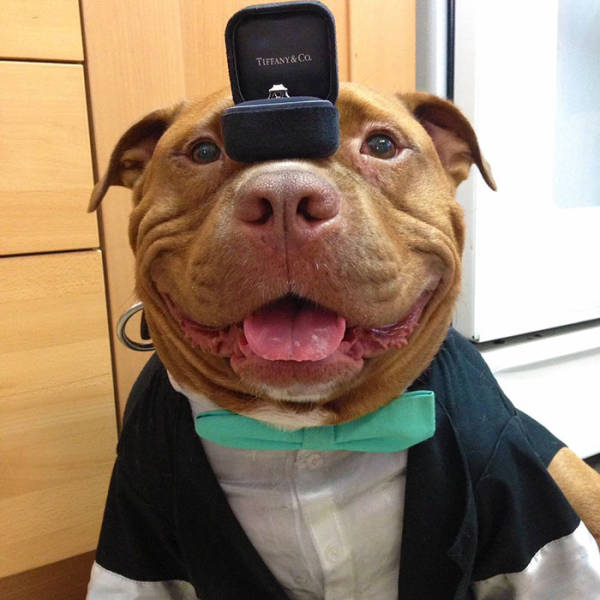 This Adopted Pit Bull Now Has A Permanent Smile (12 pics)