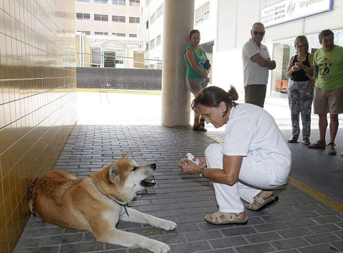 Worried Dog Refuses To Leave Hospital While Owner Recovers From Surgery (3 pics)