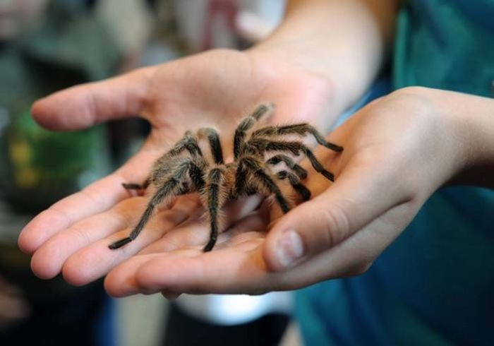 It's Time For Tarantula Mating Season In Los Angeles (4 pics)